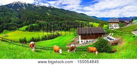 Green lush meadows - cow's pasture, Alpine scenery. Dolomites mountains