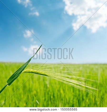 blue sky with cloud and green spica over field closeup. soft focus