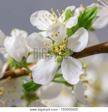Spring Cherry Blossom Background, Abstract Floral Border Of Blossoming Tree Brunch With Green Leaves And White Flower On Bokeh Green Background, Mother's Day, Wedding, Birthday, Easter, Valentines Day