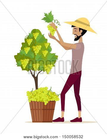 Man picking grape during wine harvest. Harvesting icon. Smiling vintner harvesting a bunch of white grapes in vineyard. Isolated object in flat design on white background. Vector illustration.