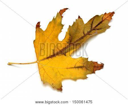 Autumn Dried Maple Leaf