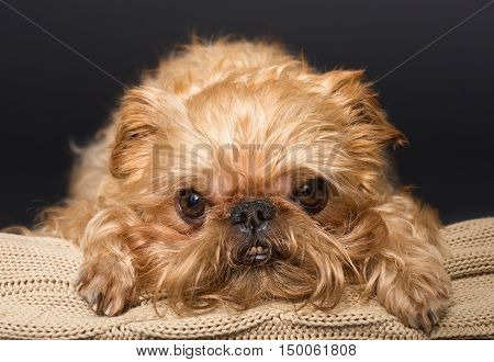 Dog portrait on a knitted blanket breed Brussels Griffon on a black background