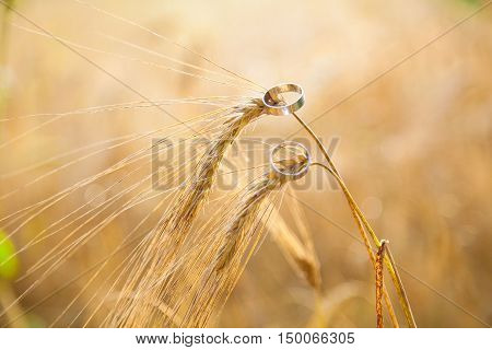 gold wedding rings on the ears of wheat