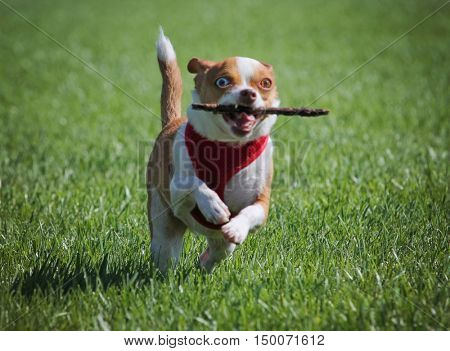a cute chihuahua running with a stick in a local park in the green grass