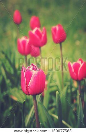 spring tulip in beautiful bouquet flowers garden