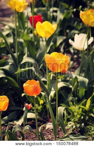 spring tulip in beautiful bouquet flowers yellow