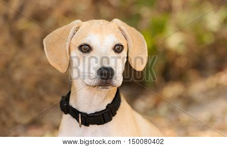 Puppy cute is an adorable little puppy dog looking at you with his big brown eyes.