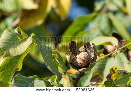 Ripe walnuts in the open shells in the autumn garden