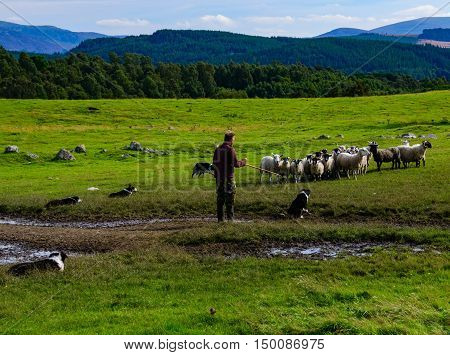 SCOTLAND--AUGUST 15, 2016--A sheep farmer gives verbal commands to his dogs as they maneuver a herd of sheep to another field.