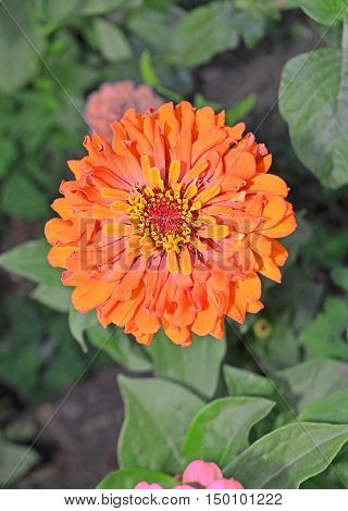 Zinnia Elegans Orange Flowers