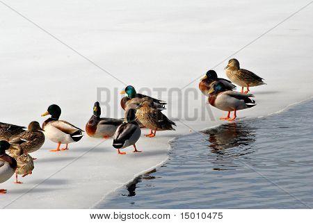 Beautiful Winter Mallard Ducks