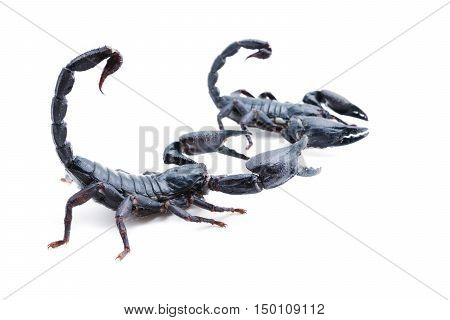 isolated Closeup of a scorpion on white background.