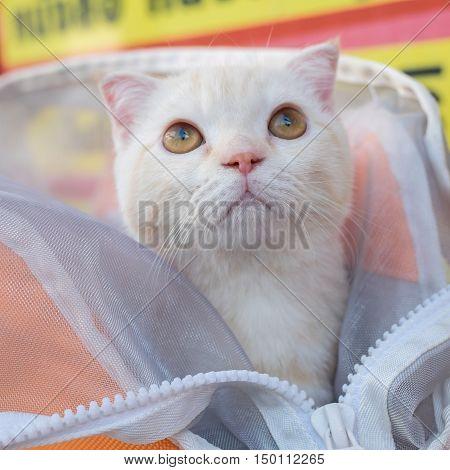 cute Scottish fold cat in the bag