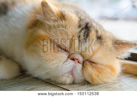 exotlc shorthairs cat sleeping on wood floor