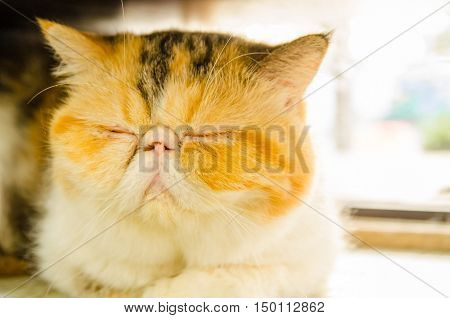 cute kitty exotlc shorthairs cat sleeping on floor