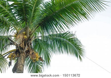 coconut tree on white background with copy space