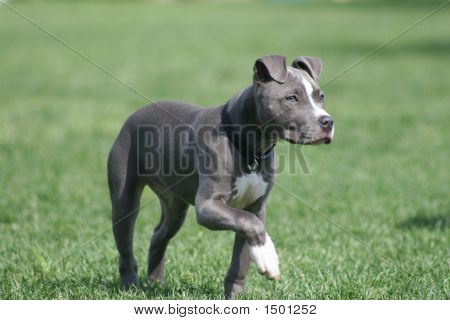 Blue American Pit Bull Puppy