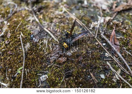 Big winged black insect with a yellow big head
