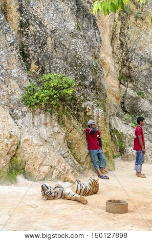 KANCHANABURI, THAILAND - NOVEMBER 9 : Volunteers take care of tigers in the Buddhist Tiger Temple on November 9, 2014 in Kanchanaburi.