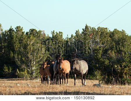 Wild Horse Herd walking together on Tillett Ridge in the Pryor Mountain Wild Horse Range in Montana - Wyoming USA