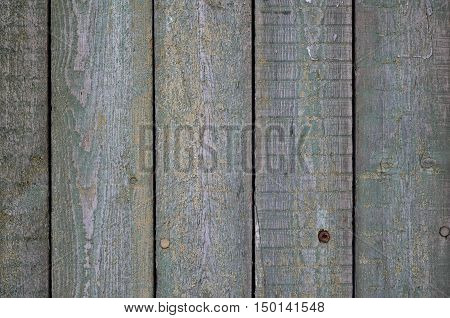 Green leaves of Virginia creeper on background of shabby painted wooden boards