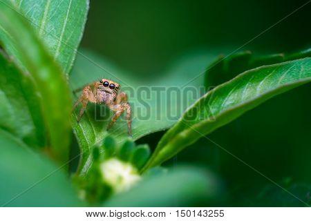 Jumper spider on green leaf. Close up