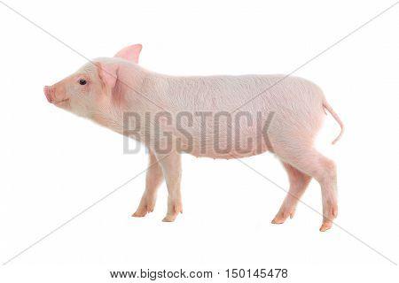 pink piglet on a white background. studio
