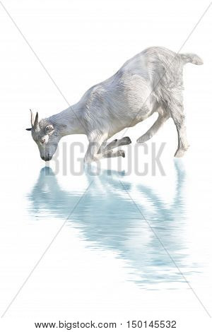 goat drink water isolated on a white background