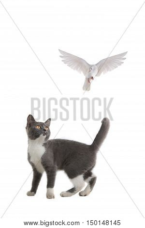 cat and free flying white dove isolated on a white background