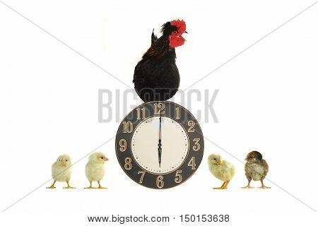 rooster, hours and chickens on a white background