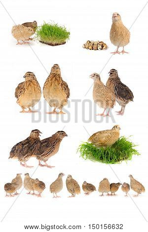 the adult quails isolated on white background