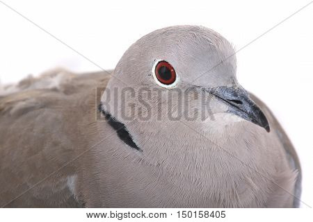 portrait eurasian collared dove on a white background