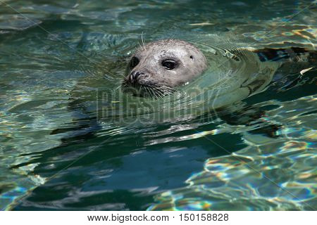 Harbor seal (Phoca vitulina), also known as the common seal. Wildlife animal.