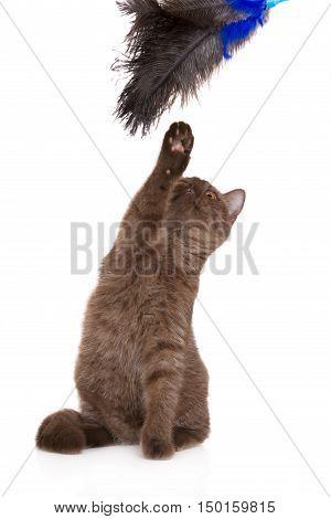 british shorthair kitten playing on white background
