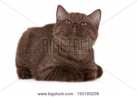brown british shorthair kitten posing on white