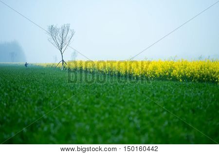Fog countryside canola flower and a small tree.
