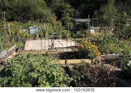 Growing food in an allotment in Autumn