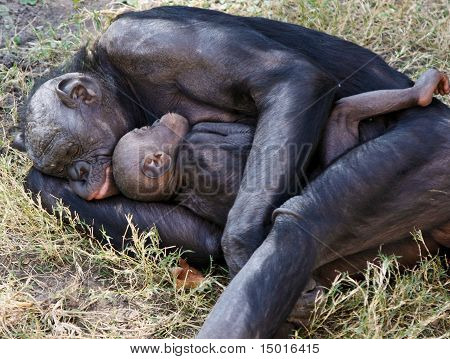 Bonobo Mother And Child Sleeping In Grass