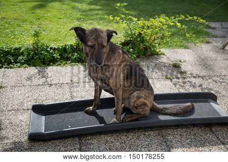 Dog sitting on car ramp, exercise for the car