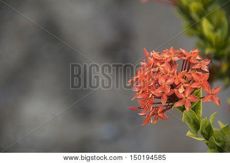 red spike flower. Ixora Rubiaceae stricta flora in Thailand.