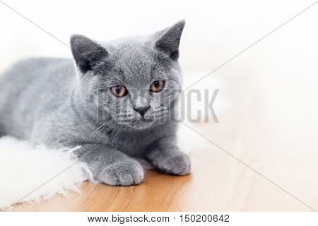 Young cute cat playing on wooden floor. The British Shorthair pedigreed kitten with blue gray fur