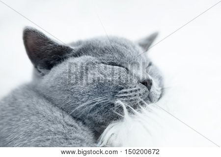 Young cute cat resting on white fur. The British Shorthair pedigreed kitten with blue gray fur