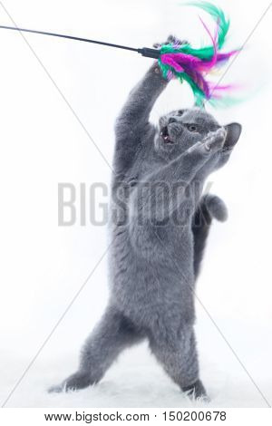 Young cute cat playing with a stick toy. The British Shorthair pedigreed kitten with blue gray fur