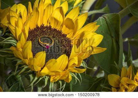 Yellow sunflower with the ruby ring, jewellery