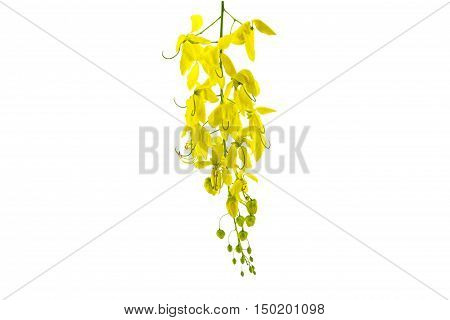 Flowers of Cassia fistula or Golden shower national tree of Thailand isolated on white background.Saved with clipping path.