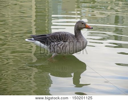 nice duck tucked into the green water river