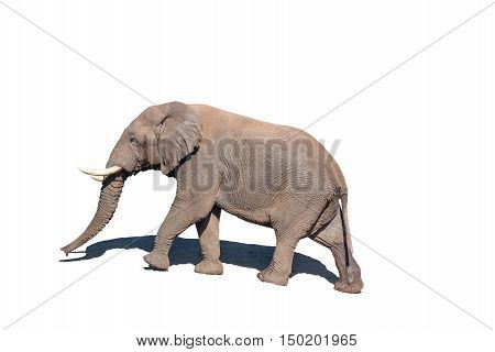 An African Elephant Loxodonta africana walking isolated in white