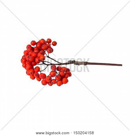bunch rowan berries on a white background isolated