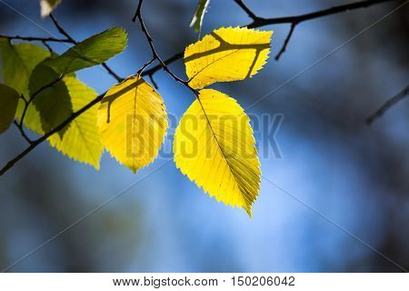 abstract aspen autumn tree twig on soft blue background
