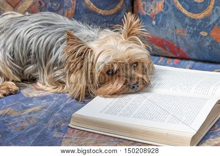 Yorkshire terrier is reading an open book lying on the couch. Scripture in the book is intentionally blurred.